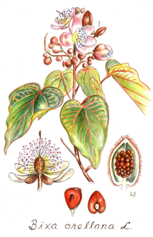 India Tree Annatto Botanical