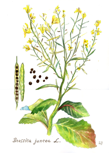 India Tree Mustard Seed Botanical