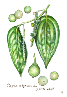 India Tree Green Peppercorns Botanical