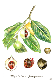 India Tree Nutmeg Botanical