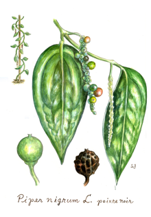 India Tree Tellicherry Peppercorn Botanical Drawing